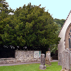 Fortingall Yew [square]