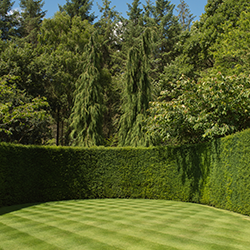Yew hedge [square]